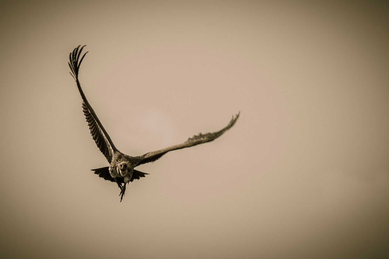 sepia image of a cape vulture flying straight towards the photographer