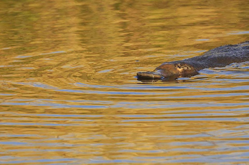 3 Best Places To Photograph The Duck-Billed Platypus In The Wild In Tasmania