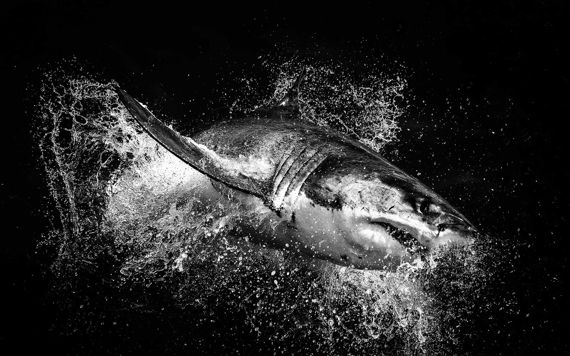 Great white shark breach a wild artistic photograph