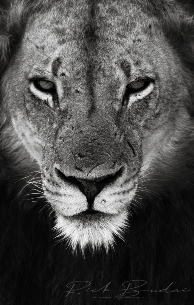 Black and white photograph of a lion captured on an African photographic Safari